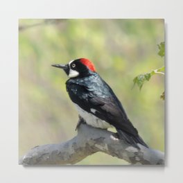 Acorn Woodpecker At Rest Metal Print