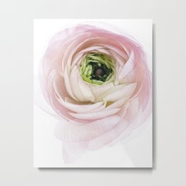 Pink Ranunculus Flower I Metal Print
