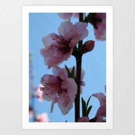 Pastel Pink of Peach Tree Blossom Art Print