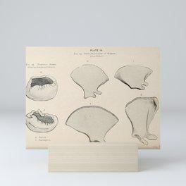 W Sidney Berridge - A Book of Whales (1900) - Figure 12-13: Tympanic Bones and Shoulder Blades Mini Art Print