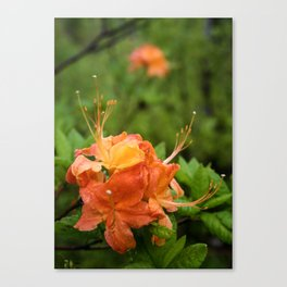 Flame Azalea Botanical Fine Art Print, Flower Print, Wildflower Nature Print Canvas Print