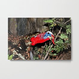 Wild Turkey Close Up Metal Print