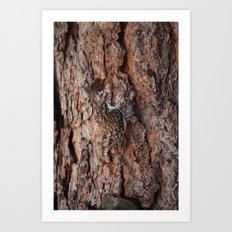 Brown Creeper Nuthatch Art Print