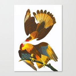 Caracara Eagle Illustration Canvas Print