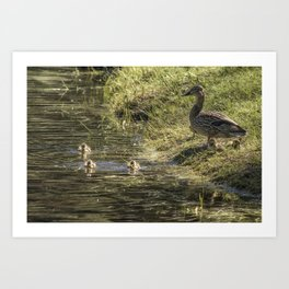 Mother Mallard and her Brood, No. 1 Art Print