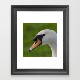 Mute swan pen Framed Art Print