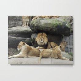 Lion and his Pride Metal Print