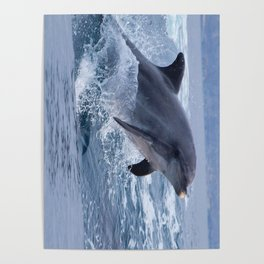Bottenose dolphin Poster