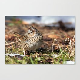Staredown with a Lincoln's Sparrow Canvas Print