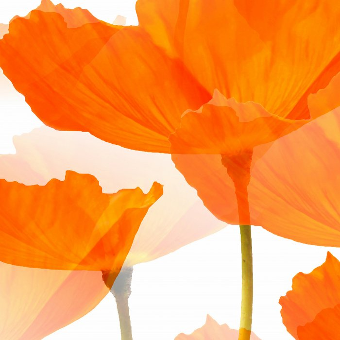 Orange Poppies On A White Background #decor #society6 #buyart Leggings