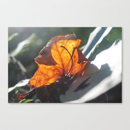 Sunlight through leaf Canvas Print