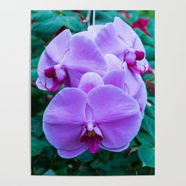 Thai Orchids Poster