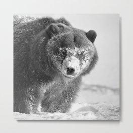 Alaskan Grizzly Bear in Snow, B & W - 3 Metal Print