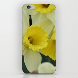 daffodils bloom in spring in the garden iPhone Skin