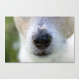 It's a Jack Russell Canvas Print