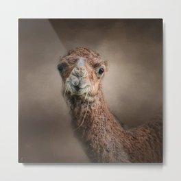 Eat Your Veggies - Baby Camel - Wildlife  Metal Print
