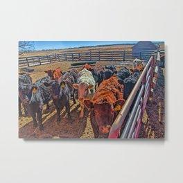 Last Year's Calves Metal Print