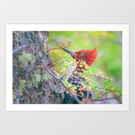 Woodpecker at Forest Pecking Tree, Patagonia, Argentina Art Print