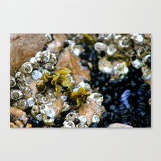 Oh Barnacles! Canvas Print