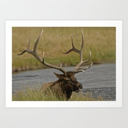 Bull elk with very large antlers Art Print