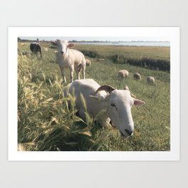 Cute Sheep in animal farm field in The Netherlands | Travel Photography Art Print