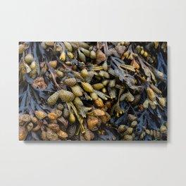 Bladderwrack seaweed Metal Print