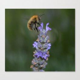Bee on Lavendar Canvas Print