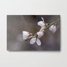 spring cherry blooms Metal Print