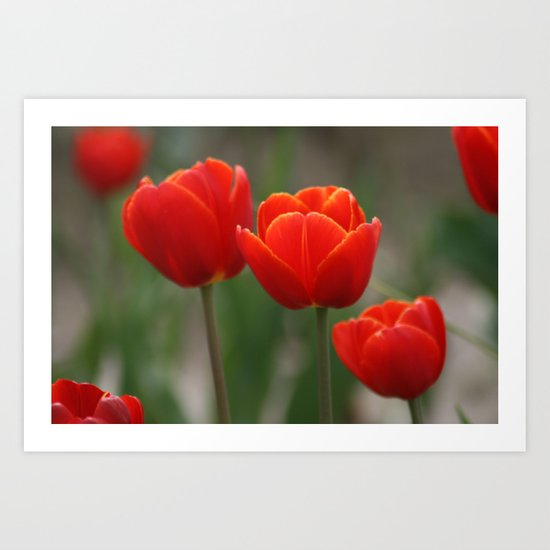 Red Orange Tulip Art Print
