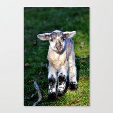 Exmoor Lamb Canvas Print