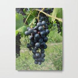 Grapes growing on the vine Metal Print
