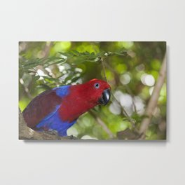 Eclectus Parrot Metal Print