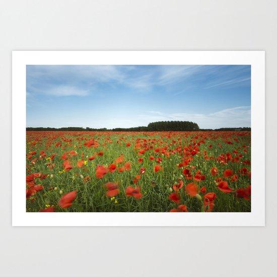 field of red poppies in evening light. Holme Hale, Norfolk, UK Art Print