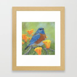 Western Bluebird Framed Art Print