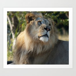 Gazing Lion Art Print