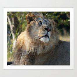 Gazing Lion Art Print