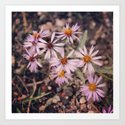 Colorado Purple Asters by i102fly