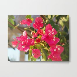 Bougainville in the sunset Metal Print