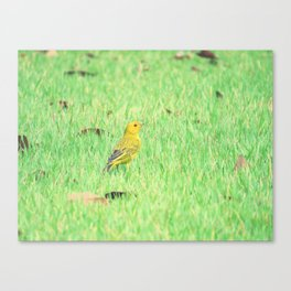 Yellow canary in grass Canvas Print