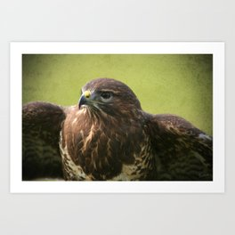 Common Buzzard II Art Print