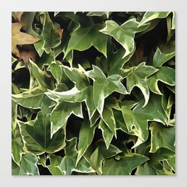 Variegated Ivy Canvas Print