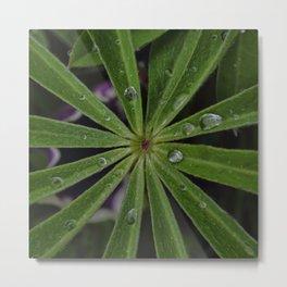 Wet lupin leaf Metal Print