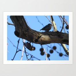 Pair of Nuthatches Art Print