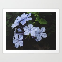 Beautiful flower - Plumbago auriculata Art Print