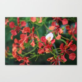 """""""Poinciana turns over a new leaf"""" Canvas Print"""