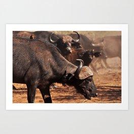 Cape Buffalo. Art Print