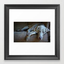 Sleepy Weimaraner Framed Art Print