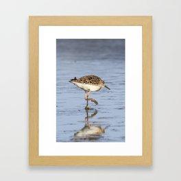 Ruff water bird (Philomachus pugnax) Ruff in water Framed Art Print