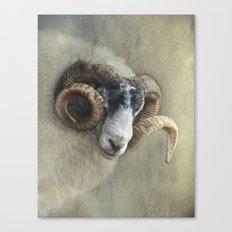 Dougal - A black faced Welsh ram Canvas Print