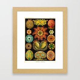 Vintage Ascidiae Print by Ernst Haeckel, 1904 Educational Chart Framed Art Print